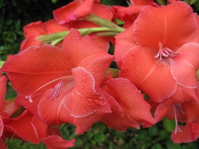 Kwiaty godne uwagi – kwiaty na balkonie i do ogrodu – mieczyki.